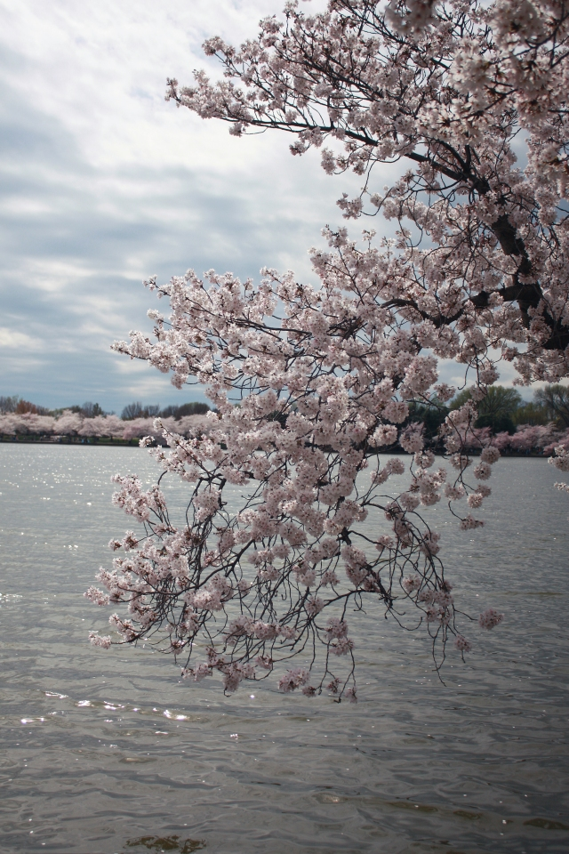 cherry-blossoms-over-water