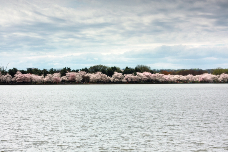 cherry-blossoms-tidal-basin