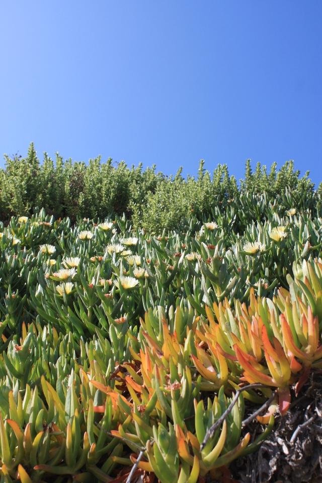 beach-flora-santa-barbara