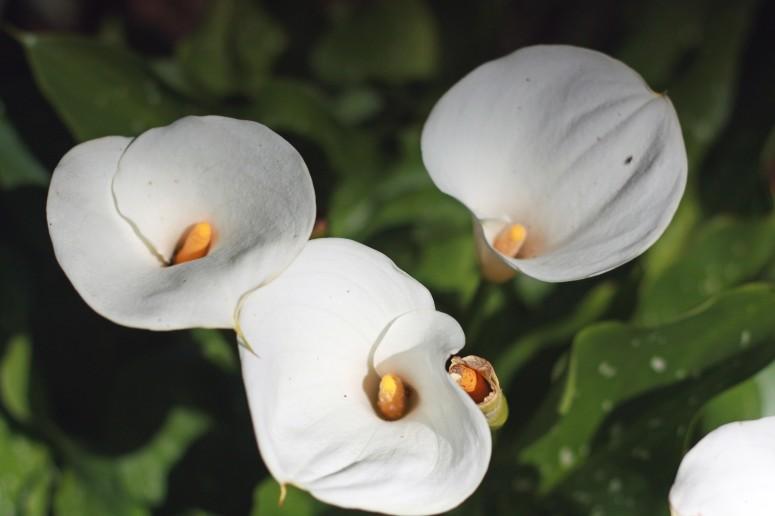 calla-lillies