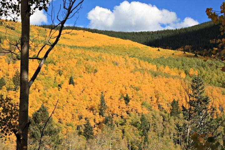 aspen-trees-new-mexico